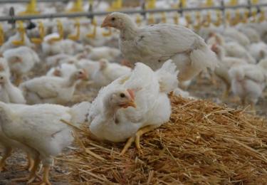 Colruyt en Okay engageren zich als eerste Belgische leverancier voor beter welzijn vleeskippen