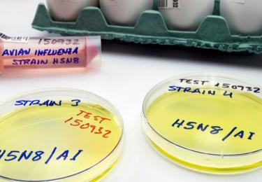 Hoogpathogene vogelgriep H5N8 aangetroffen bij handelaar uit Menen