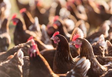 ILVO investeert in nieuwe proefstal voor pluimvee