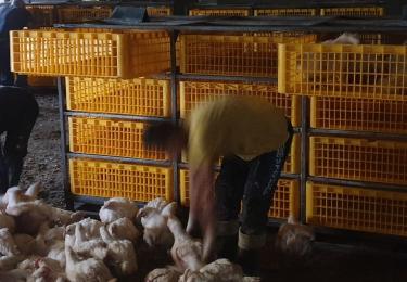 Nederlandse pluimveesector krijgt Zweedse vangmethode door zijn strot geduwd