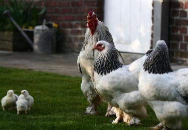 Nieuw geval van hoogpathogene vogelgriep H5N8 bij Waregemse handelaar