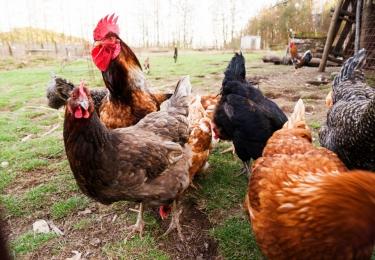 Nieuwe H5N8-vogelgriepvirusuitbraken na aankoop besmette dieren bij vogelhandelaar uit Menen