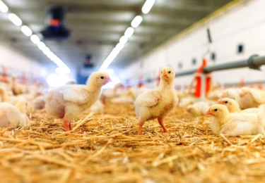 Opwaardering pluimveesector nu retail aankondigt om in de toekomst over te schakelen op 'nieuwe' standaardkip?