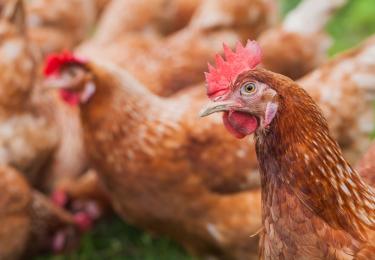 Tijdelijke waarborgleningen voor pluimveebedrijven getroffen door het vogelgriepvirus