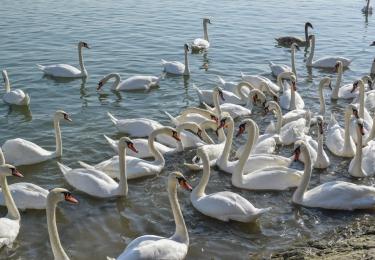 Vervoersverbod na nieuw geval van vogelgriep bij sierwatervogels in Nederland
