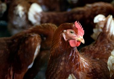 Vlaamse Regering keurt steunmaatregel goed om LPAI H3-getroffen pluimveebedrijven te vergoeden – Steunmaatregel ontoereikend